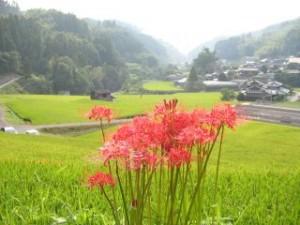 manjushage (red spider lily; cluster belladonna; cluster amaryllis; manjusaka)